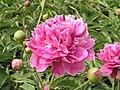 芍藥-台閣型 Paeonia lactiflora Chamber-series -瀋陽植物園 Shenyang Botanical Garden, China- (9190630861).jpg