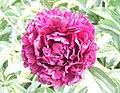 芍藥-墨紫綾 Paeonia lactiflora 'Dark Purple Silk' -瀋陽植物園 Shenyang Botanical Garden, China- (12380586224).jpg