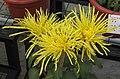 菊花-佛光之射 Chrysanthemum morifolium 'Buddha Light Radiating' -中山小欖菊花會 Xiaolan Chrysanthemum Show, China- (11961611184).jpg
