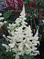 落新婦 Astilbe hybrida -阿姆斯特丹植物園 Hortus Botanicus, Amsterdam- (9237483637).jpg