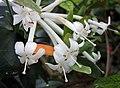 越桔杜鵑類 Rhododendron radians -新加坡濱海灣花園 Gardens by the Bay, Singapore- (25061964726).jpg