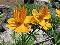 金蓮花屬 Trollius riederianus -哥本哈根大學植物園 Copenhagen University Botanical Garden- (36247369744).jpg