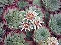 長生草屬 Sempervivum calcareum -倫敦植物園 Kew Gardens, London- (9227006475).jpg