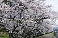 食とみどり技術センターの桜並木 2014.4.02 - panoramio.jpg