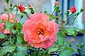 02014 Rosa cultivars K, Sanok.JPG