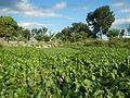 04506jfDomesticated Water Hyacinth Pescadores Poblacion Candaba Pampangafvf 13.JPG