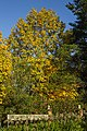 05- Autumn Leaves begin to fall Blue Mountains (17314246672).jpg