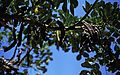 054Zypern Kourion Johannisbrotbaum (14062880795).jpg