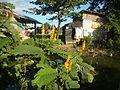 07875jfSenna alata flowers Cassia alata L. ringworm bush Philippinesfvf 01.jpg