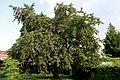 0 Prunus avium - Havré (3).JPG