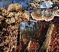 1000 and more Plicatura crispa Syn. Plicaturopsis crispa (Crimped Gill, D= Krause oder Buchen-Adernzähling, F= plicature crispée, NL= Plooivlieswaaiertje) at Hoge Erf Schaarsbergen - panoramio.jpg
