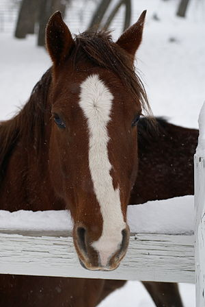 An American Quarter Horse in winter.