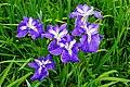 140614 Yagyu Iris Garden Nara Japan05s5.jpg