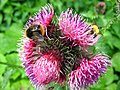 1528 - Nationalpark Hohe Tauern - Bees and fly on flowers.JPG