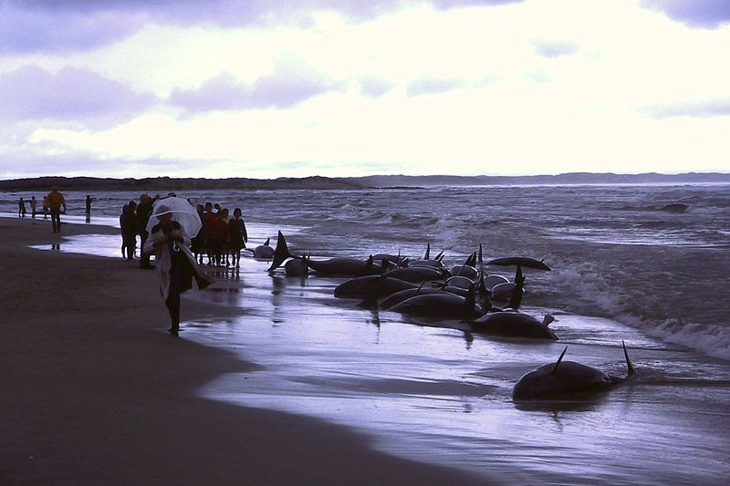 File:1986 beached whales in Flinders Bay (1).JPG