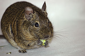 Common degu - Degus use their forepaws to hold food whilst eating