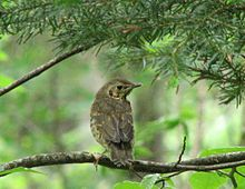 2007.07.03 juvenile song thrush Dombaih, Russia 108 cc.jpg