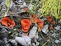 2011-10-15 Melastiza chateri (W.G. Sm.) Boud 174931.jpg