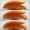2011-11-26 Lactarius deliciosus (L.) Gray 187162.jpg