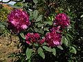 2012-05-15 Rhododendronpark Rathen 2.JPG