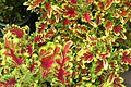 2014-05-16 14.51.02 Coleus 'Under the Sea® Electric Coral' (14205270564).jpg