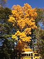 2014-11-02 15 12 07 Hickory during autumn along Highgate Drive in Ewing, New Jersey.jpg