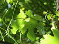 20140606Vitis vinifera subsp. sylvestris08.jpg
