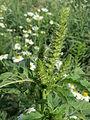 20140701Amaranthus retroflexus.jpg
