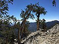 2015-07-13 09 59 07 Great Basin Bristlecone Pines along the North Loop Trail about 8.1 miles west of the trailhead in the Mount Charleston Wilderness, Nevada.jpg
