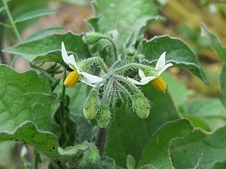 Solanum nigrum - Image: 20150606Solanum torvum 2