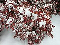 2016-02-15 10 07 45 Firepower Nandina domestica covered in snow along Franklin Farm Road in the Franklin Farm section of Oak Hill, Fairfax County, Virginia.jpg
