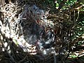 2017-04-16 12 23 00 Baby birds in a nest along Tranquility Court in the Franklin Farm section of Oak Hill, Fairfax County, Virginia.jpg