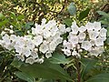 2017-05-17 17 40 10 Mountain Laurel blossoms near Forge Creek and Forge Creek Road in Great Smoky Mountains National Park, within Blount County, Tennessee.jpg