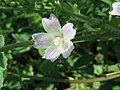 20170822Malva neglecta2.jpg