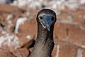 20180805-Blue-footed booby (juvenile) at Seymour Norte-11 (9280).jpg