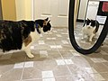 2020-01-19 18 05 20 A Calico cat reacting to a mirror in the Franklin Farm section of Oak Hill, Fairfax County, Virginia.jpg
