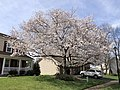 2020-03-22 13 56 22 Flowering Cherries blooming along Hidden Meadow Drive in the Franklin Glen section of Chantilly, Fairfax County, Virginia.jpg