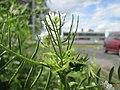 20200504Alliaria petiolata2.jpg