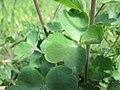 20200508Aquilegia vulgaris5.jpg