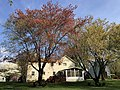 2021-04-15 09 42 58 Red Maples heavily laden with immature seeds along Thorngate Court in the Franklin Farm section of Oak Hill, Fairfax County, Virginia.jpg