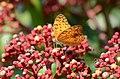 296紅擬豹斑蝶6(李淑惠攝) (12943854115).jpg