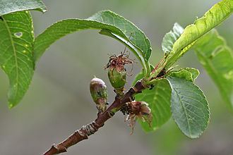 Abscission - Abscission of the hypanthium during development of a nectarine fruit