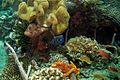 48-EastTimor-Dive1 Behau Village 19 (Emperor Angelfish Juvenile)-APiazza.JPG