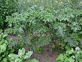 4984-brassica oleracea convar. acephala 20110826.JPG