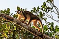 4 day trip to La Selva Lodge on the Napo River in the Amazon jungle of E. Ecuador - squirrel Monkeys (Saimiri sciureus) - (26831696756).jpg