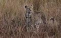 8341 S Africa Leopard JF.jpg