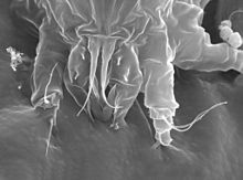 Electron micrograph of Floracarus perrepae attacking a plant