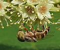 A Hoverfly on a Desi Badam (Terminalia catappa) in Hyderabad, AP W2 IMG 0494.jpg