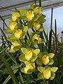 A and B Larsen orchids - Cymbidium Eastern Star Kawano DSCN4732.JPG