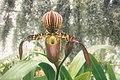 A and B Larsen orchids - Paphiopedilum stonei x haynaldianum 468-16.jpg